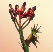ดอก Kangaroo