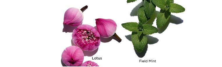 ภาพส่วนผสม Lotus, Chamomile และ Field Mint